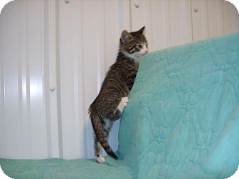 Domestic Mediumhair Kitten for adoption in Detroit Lakes, Minnesota - Frankie