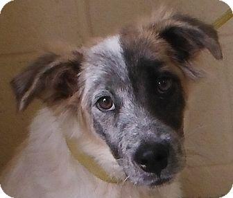 Australian Shepherd/Border Collie Mix Puppy for adoption in Cedartown, Georgia - 29361499