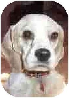 Cocker Spaniel Dog for adoption in Downey, California - Bridgett