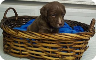 Labrador Retriever/Boxer Mix Puppy for adoption in Greenville, Kentucky - Memphis