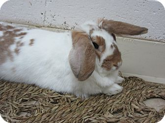 Lop-Eared Mix for adoption in Newport, Delaware - Irena