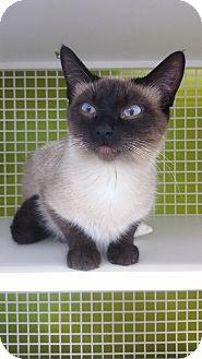 Siamese Cat for adoption in Meridian, Idaho - Dutchess