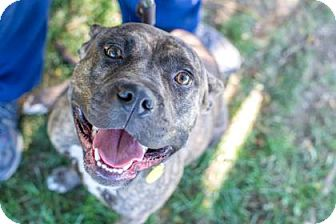 Terrier (Unknown Type, Medium)/American Pit Bull Terrier Mix Dog for adoption in Fulton, Missouri - Gillian- Ohio