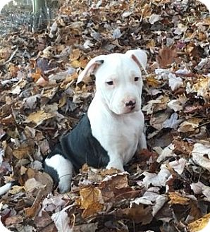 Pit Bull Terrier Mix Puppy for adoption in Wooster, Ohio - WILLIAM
