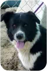 Border Collie Mix Dog for adoption in Phelan, California - Gerry