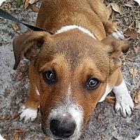 Adopt A Pet :: Harlo - Gainesville, FL