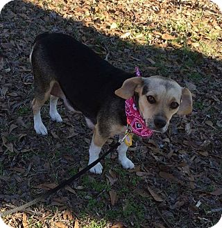 Beagle Mix Dog for adoption in Palm Harbor, Florida - Dodi