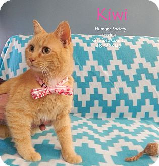 Domestic Shorthair Cat for adoption in Bucyrus, Ohio - Kiwi