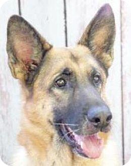 German Shepherd Dog Dog for adoption in Inverness, Florida - Hauchi
