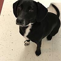 Beagle/Labrador Retriever Mix Dog for adoption in Ona, West Virginia - Jewels