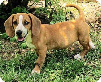 Beagle/Dachshund Mix Puppy for adoption in Little Rock, Arkansas - Madison