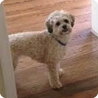 Shih Tzu/Poodle (Miniature) Mix Dog for adoption in Tenafly, New Jersey - Chloe