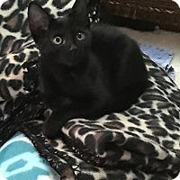 Adopt A Pet :: Velvet - Tampa, FL