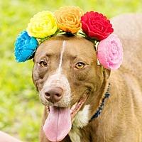 Labrador Retriever/Spaniel (Unknown Type) Mix Dog for adoption in Seattle, Washington - Minnie