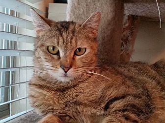 Bengal Cat for adoption in Glendale, Arizona - KoKo