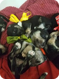 Miniature Schnauzer/Terrier (Unknown Type, Small) Mix Puppy for adoption in Ocean Springs, Mississippi - PUPPIES