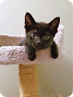Domestic Shorthair Kitten for adoption in Vancouver, British Columbia - Raisin