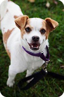Jack Russell Terrier Mix Dog for adoption in Seal Beach, California - Pumpkin