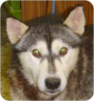 "Siberian Husky Mix Dog for adoption in Various Locations, Indiana - ""Devon is Urgent"""