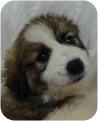 St. Bernard/Collie Mix Puppy for adoption in Brenham, Texas - Beethoven