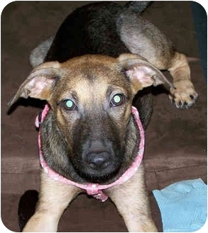 Basenji/German Shepherd Dog Mix Puppy for adoption in Steilacoom, Washington - Thea