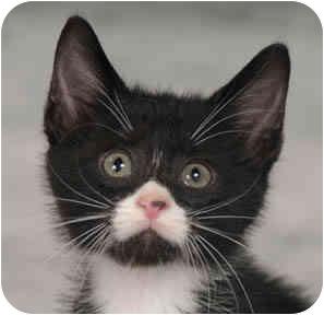 Domestic Shorthair Kitten for adoption in Chicago, Illinois - Marilyn