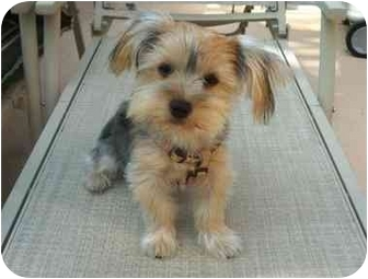 Yorkie, Yorkshire Terrier Puppy for adoption in West Palm Beach, Florida - Mollie