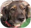 Cocker Spaniel/Dachshund Mix Dog for adoption in Poway, California - Milly