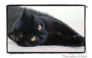 Domestic Shorthair Cat for adoption in Warren, Pennsylvania - Cindy