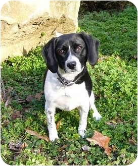 Beagle/Border Collie Mix Dog for adoption in Mocksville, North Carolina - Lilly