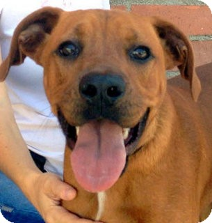 Vizsla/Boxer Mix Dog for adoption in Los Angeles, California - Fletcher *VIDEO*