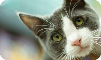 Russian Blue Kitten for adoption in Santa Monica, California - Spencer