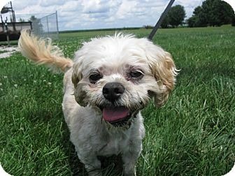 Lhasa Apso Dog for adoption in Indianapolis, Indiana - Rembrandt
