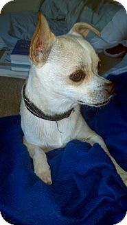 Chihuahua Mix Dog for adoption in Kingwood, Texas - Major