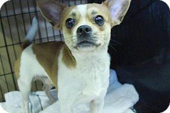 Chihuahua Mix Dog for adoption in Philadelphia, Pennsylvania - Harley
