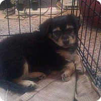 Adopt A Pet :: Cocoa - Inglewood, CA