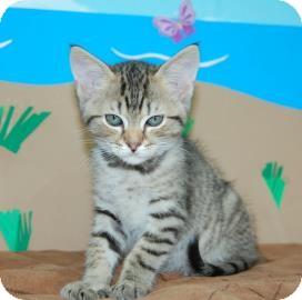 Domestic Shorthair Kitten for adoption in Bradenton, Florida - Safari