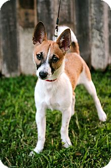 Jack Russell Terrier/Chihuahua Mix Puppy for adoption in Salem, New Hampshire - PUPPY UNO