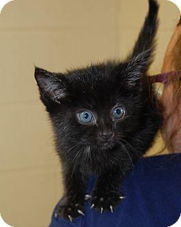 Domestic Shorthair Kitten for adoption in Bucyrus, Ohio - Tiana
