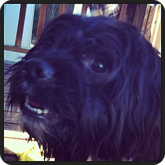 Spaniel (Unknown Type)/Poodle (Miniature) Mix Dog for adoption in Jacksonville, Florida - Charlie