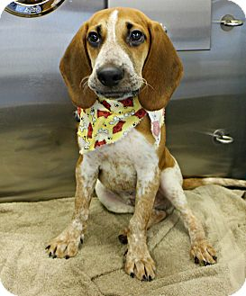 Coonhound Mix Puppy for adoption in Forked River, New Jersey - Shiloh