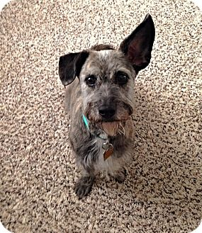 Miniature Schnauzer/Dachshund Mix Dog for adoption in Sharonville, Ohio - Priscilla
