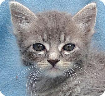 Domestic Mediumhair Kitten for adoption in La Jolla, California - Silver