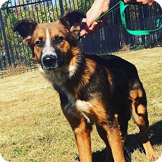 Australian Shepherd/German Shepherd Dog Mix Dog for adoption in Memphis, Tennessee - Lilah