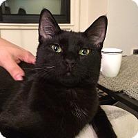 Adopt A Pet :: Obara - Chicago, IL