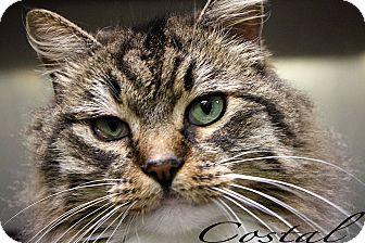 Maine Coon Cat for adoption in Texarkana, Arkansas - Costal