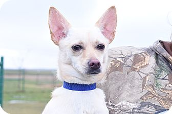 Chihuahua Mix Dog for adoption in Pilot Point, Texas - PEARL