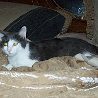 Domestic Shorthair Cat for adoption in Cincinnati, Ohio - zz 'Chloe' courtesy listing
