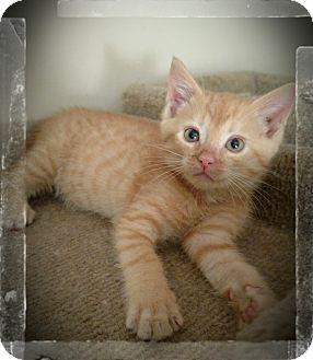 Domestic Shorthair Kitten for adoption in Richmond, Virginia - Payten (adoption pending)