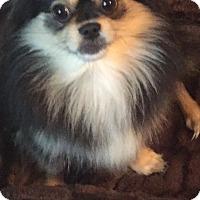 Adopt A Pet :: Peeka - courtesy listing - Gig Harbor, WA